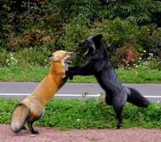 SILVER FOX AND RED FOX FIGHT
