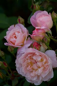 Pink English rose buds and bloom