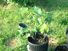 fig My mom gave us as a cutting. it's been really growing. about time to replant