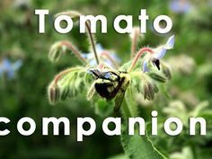 12 Companion Plants to Grow Alongside Your Tomatoes