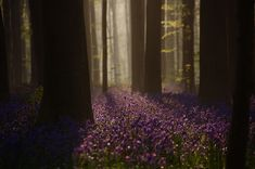 Hallerbos (or Halle Forest in Dutch), and it's located in Belgium Mystic Forest