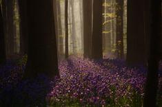 Il existe en Belgique une mystérieuse forêt entièrement tapissée de jacinthes - épanews