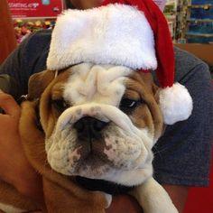 Bad Santa  #TRex #SashasPup #MeanMuggin #FavoriteSeasonIsAlmostHere @i_fj #Padgram