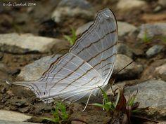 Marpesia livius   by LPJC