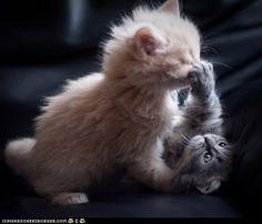 *BOOP* ur noze!    #cute #kitten #adorable