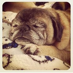 Love senior grey pug faces
