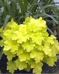 Heuthera Citronelle - Plante à feuillage vert anis persistant. Floraison vaporeuse blanche. Plante vigoureuse à mettre absolument à l''ombre sinon le feuillage s'abîme.