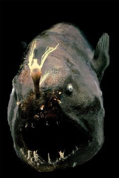 Anglerfish1 Top 10 Most Diabolical Fish On Earth