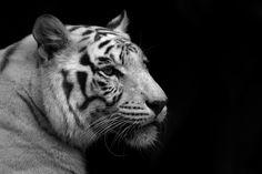 #blanco, #fondo negro, #Tigre, #negro y fondo de pantalla blanco