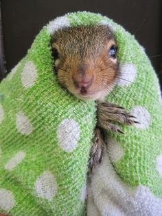 It's pretty cold out there today, so take a cue from this little squirrel from Brukner Nature Center and bundle up. Cute Squirrel, Baby Squirrel, Squirrels, Cute Baby Animals, Animals And Pets, Funny Animals, Wild Animals, Squirrel Pictures, Animal Pictures