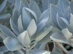 """OH MY!!! a page with all the native sages!!! """"Sages, Salvias, truly drought tolerant California Native plants."""" Starting with my favorite, White Sage, Salvia apiana."""