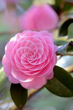 Most beautiful pink flowers in the world – Camellia Flower - Beautiful Flowers Beautiful Flowers Garden, Exotic Flowers, Amazing Flowers, Beautiful Roses, Pretty Flowers, Pink Flowers, Flowers In Garden, Buy Flowers, Simple Flowers