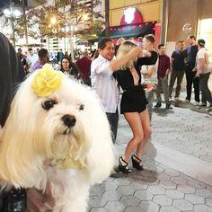 Saturday Night Salsa Dancing with Pawrents on the 3rd Street Promenade! Shedding All My Chicken Treat Fat Finally!  #Salsa #3rdstreetpromenade #SantaMonica #WoofPackBros #maltesedog #Panchobuster #bow #DogHat #Hat #Flower #dogbows #cutepuppy #cutedog #dog #puppy #maltese #tissuedog #puppylove #poochgram #photooftheday #dogs #instadog #instapuppy #maltesepuppy #whitedog #picoftheday #picoftheday #tissue #dogfashion #fashion #말티즈 by puppy_tissue #lacyandpaws
