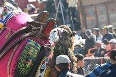 to the victor the spoils - Camel Wrestling, Buldan, Turkey