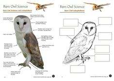 Barn Owl adaptations worksheet resources Barn Owl conservation: Science educational resources - The Barn Owl Trust Birds Of Prey, Owl Adaptations, Owl Facts For Kids, Owl Habitat, Owl Activities, Owl Pellets, Literacy And Numeracy, Owl Classroom, Teaching Science