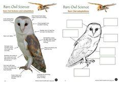 Barn Owl Diagram | Outdoor Science School - Activities for ...