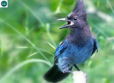 https://www.facebook.com/WonderBirdSpecies/ Steller's jay (Cyanocitta stelleri); Western half of North America from Alaska in the north to northern Nicaragua; IUCN Red List of Threatened Species 3.1 : Least Concern (LC)(Loài ít quan tâm) || Giẻ cùi Steller; Họ Quạ-Corvidae; Bắc và Trung Mỹ; Đặt tên theo nhà tự nhiên học người Đức Georg Wilhelm Steller (10/03/1709 – 14/11/1746)