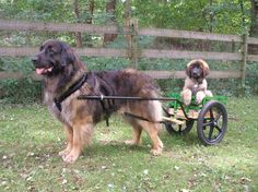 10 Things Only a Leonberger Owner Would Know - American Kennel Club