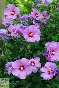 Comment planter l'Althea (hibiscus des jardins) Rose of Sharon Giant Flowers, Bulb Flowers, Flowers Nature, Real Flowers, Beautiful Flowers, Hibiscus Rosa Sinensis, Bonsai, Rose Of Sharon, Gardening