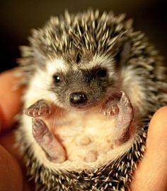 Saw a hedgehog in my in-laws backyard in England once. So darn cute. Cute Wild Animals, Super Cute Animals, Adorable Animals, Small Animals, Hedgehog Pet, Cute Hedgehog, Beautiful Creatures, Animals Beautiful, Fur Babies