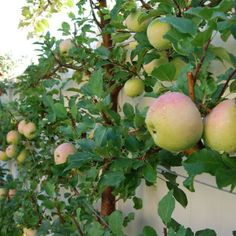 It's time for an update on the apple espalier as the Fall season gets underway. As much as I hate to acknowledge there's limited time to celebrate the last hurrahs of the growing season in my zone .