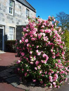 Camellia bush in full bloom, Wrights' and Coopers' Place, Old Aberdeen.