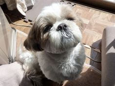 Shi tzu puppy - is it any wonder I have had the honor of sharing my life with four of them so far?