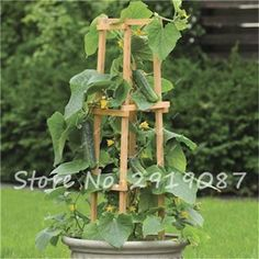 50 Pcs Cucumber Seeds Red Yellow White Japanese Long Cucumber 9 Kinds Of Choices Balcony Garden Plants Fruits And Vegetables