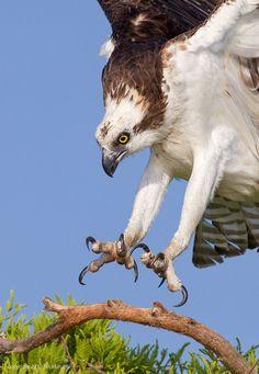 Osprey Talons by Tin Man - Photo 6707241 / 500px