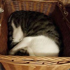 チャコ👦最近お風呂の時間になると脱衣所のバスタオルのかごで寝ているね。お風呂にもしょっちゅう入ってくるね。 お前だけが私の癒し。こんな遅くても皆が何も言わずに寝てしまっても、お前だけここにいるね。イラついてもお前を見るとほころぶね。べたべたしてくれない一緒に寝てくれない冷たさはあるけど、今はお前が一番かわいいよ。 #まりこ深夜の独り言 #また私は眠り姫 #何が姫だ #ばばぁだろ #みんな冷たい #体がしんでぃ #シンディーローパー #ねこ #猫が好き #ねこ部 #ねこスタグラム #猫 #愛猫 #と書いてあいびょう #と読む #保護猫 #野良猫 #チャコ #愛してるよ