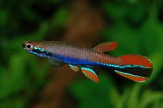 Rivulus | killie hobbyist anything from the rivulus genus would be fine
