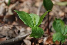 """""""La Parisette à quatre feuilles"""" est une plante herbacée vivace. Ses populations, associés aux bois tempérés sont en grande partie clonales. Elle est parfois appelée """"Étrangle-loup"""", """"Herbe à Pâris """" ou """"Raisin-de-renard"""". Le fruit est une capsule à l'aspect de baie, noire à maturité, contenant des graines charnues rouge vif. Les fruits sont toxiques"""