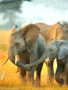 """""Loving elephant family at dawn (Amboseli National Park, Kenya - August Photo by Billy Dodson "" "" Photo Elephant, Image Elephant, Elephant Love, Elephant Art, African Elephant, African Animals, Elephant Images, Elephant Gifts, Elephant Family"