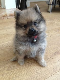 Pomeranians Dogs Wolf Shaded Sable Coloured baby Pomeranian girl, looking for a loving home. Ready now. KC Reg (with 4 weeks free insurance) Born on Father's day from . Baby Pomeranian, Wolf Sable Pomeranian, Pomeranian Colors, Spitz Pomeranian, Pomeranians, Cute Puppies, Cute Dogs, Dogs And Puppies, Cute Baby Animals