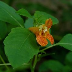 Jewelweed is a plant that flourishes in conditions that few others will tolerate, including deep shade and soggy soil. Read this article to learn more about growing wild jewelweed impatiens. Ivy Plants, Garden Plants, Herb Garden, Organic Gardening, Gardening Tips, Ivy Plant Indoor, Hummingbird Garden, Plant Information, Medicinal Herbs