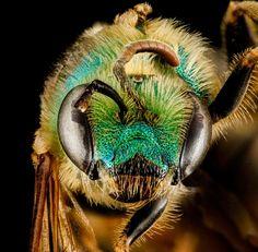 diversité des abeilles USA