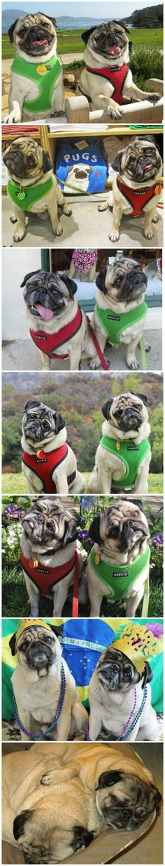 Pugs on Vacation.