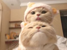 Cute Baby Cats, Cute Little Animals, Cute Funny Animals, Kittens Cutest, Cats And Kittens, I Love Cats, Crazy Cats, Gato Gif, Cat Icon