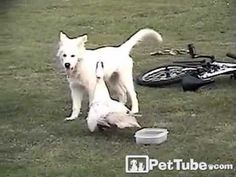 Gluttonous Puppy Adorably Defends Food Dish from a Duck