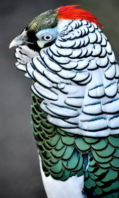 Tagged with nature, animals, awesome, birds, beautiful; Lady Amherst's Pheasant Kinds Of Birds, All Birds, Love Birds, Pretty Birds, Beautiful Birds, Animals Beautiful, Exotic Birds, Colorful Birds, Tier Fotos
