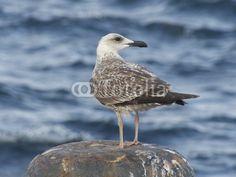 Junger Seevogel an einer Anlegestelle der Prinzeninseln im Marmarameer bei Istanbul in der Türkei