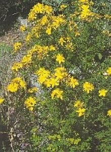 Pase Seeds - Hypericum St Johns Wort Ascyron Pyramidatum Perennial Seeds, $3.29 (http://www.paseseeds.com/hypericum-st-johns-wort-ascyron-pyramidatum-perennial-seeds/)