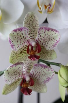 Orchids by Karlena McDougall Unusual Flowers, Amazing Flowers, Rare Species, Orchidaceae, Wild Orchid, Flower Pictures, Pyrography, Garden Plants, Garden Landscaping