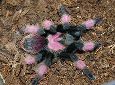 exotic tarantulas | Uncle Tarantula