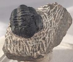 Gerastos fossile de Trilobite sur matrice originale par GEMandM