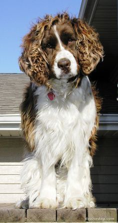 #WellPets The hair of Welsh Springer Spaniel is naturally straight flat and soft to the touch, never wiry or wavy. It is dense enough to be waterproof, anti spine, and weatherproof.