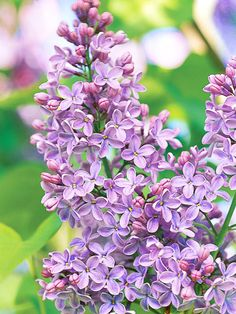Lilac, one of my favorites, but they arent in bloom long enough  I always think of my sister when I see it smell lilacs!