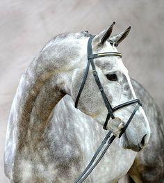 Lovely grey dappled Warmblood