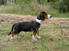 Westfälische Dachsbracke / Westphalian dachsbracke puppy dogs