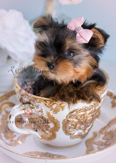Baby Doll Yorkie Puppy For Sale by TeaCupsPuppies.com